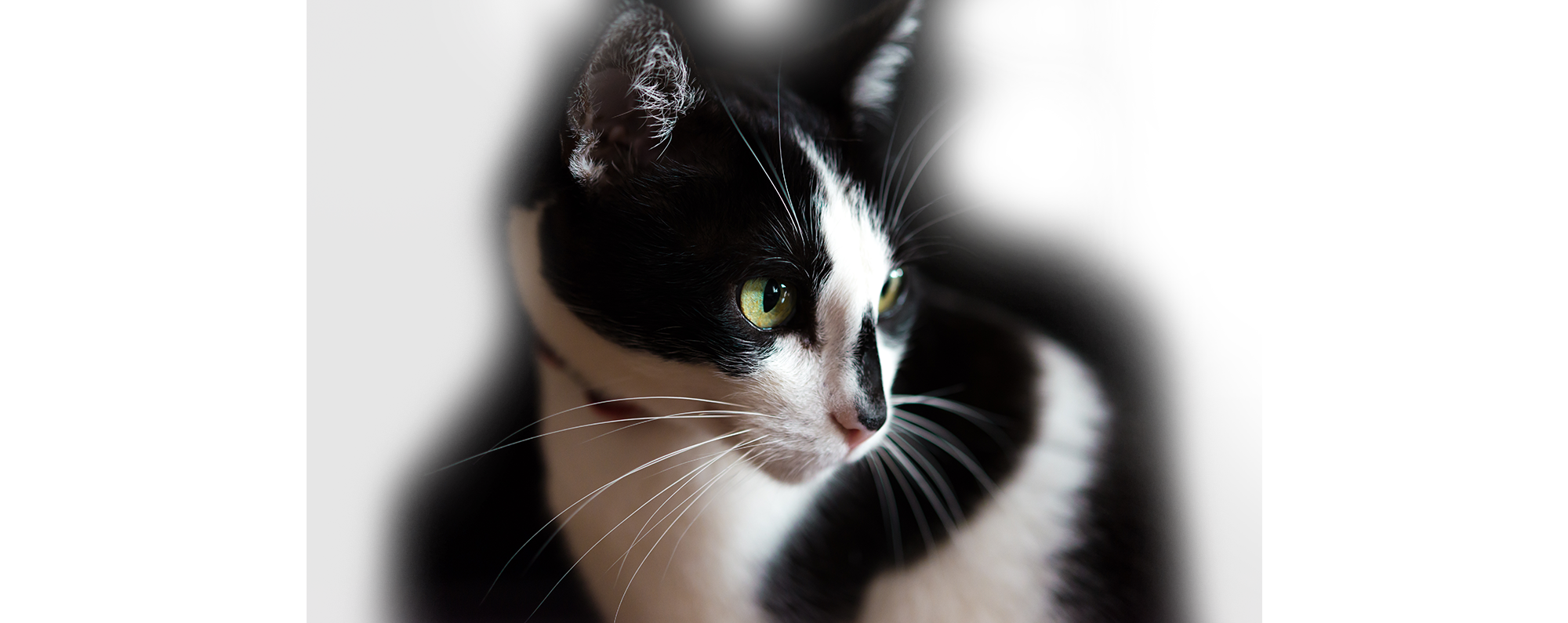 An image of a black and white cat.