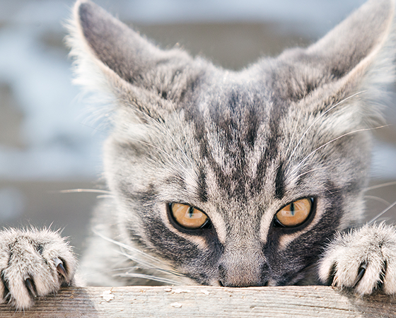 An image of a gray cat stalking the photographer behind a piece of wood.